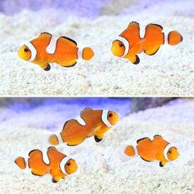 (海水魚)カクレクマノミ イレギュラーバンド(国産ブリード)(3匹)熱帯魚