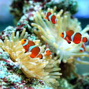 (海水魚)カクレクマノミ(2匹)と秘密の隠れ家 1セット 沖縄別途送料 北海道・九州航空便要保温