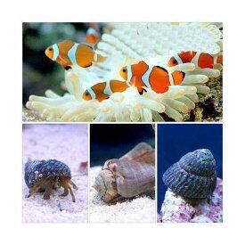 (海水魚)カクレクマノミ(2匹)とお掃除屋さんセット・B (1セット)