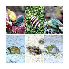 (海水魚)貝 お掃除レンジャーセット・A 底砂とその他の掃除(1セット) 北海道・九州航空便要保温