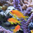(海水魚)インドキンギョハナダイ Sサイズ(3匹) 北海道・九州航空便要保温