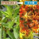(水草)プロセルピナカ パルストリス キューバ(水上葉)(無農薬)(6本)