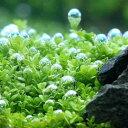 (水草)キューバパールグラス(水上葉) 鉢植え(無農薬)(3鉢)
