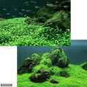 (水草 熱帯魚)前景草(無農薬)2種セット グロッソスティグマ(半パック分)+キューバパールグラス キューブL(1個)
