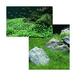 (水草)前景 水上葉(無農薬)2種セット グロッソスティグマ(半パック分)+ヘアーグラス ショート(1束分)