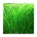(水草)石菖藻 セキショウモ(無農薬)(6株)