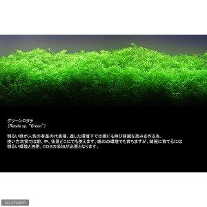 ■グリーンロタラ(10本)
