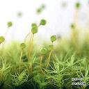 (観葉植物)苔 タマゴケ 2パック分