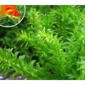 (水草)メダカ・金魚藻 エサ用アナカリス(100本)