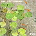 (ビオトープ/浮草)ヨーロピアン フロッグビット 葉数2〜3枚(6株)