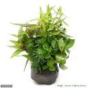 (水草)益子焼 寄せ植えミックス(水上葉)(無農薬)(1個) おまかせ水上葉(10本) おまけ付き
