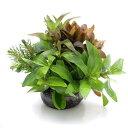 (水草)益子焼 朝摘みおまかせ寄せ植え 丈ショート(水上葉)(無農薬)(1個) おまかせ水上葉(10本) おまけ…