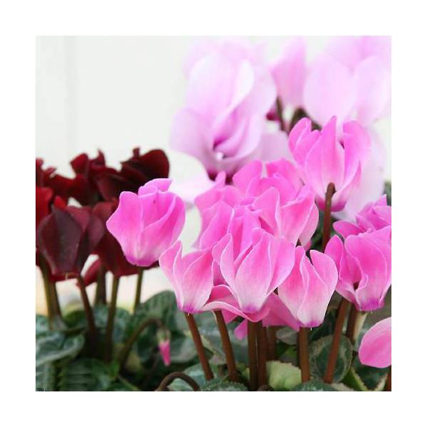 (観葉植物)ガーデンシクラメン(花色おまかせ) 3号(お買い得3ポットセット)