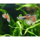(熱帯魚)レッドグラス・グッピー(国産グッピー)(3ペア) 北海道・九州・沖縄航空便要保温