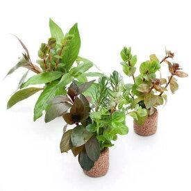 (水草)ライフマルチ(茶) おまかせ紅葉セット(無農薬)(水上葉)(3個)