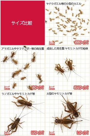 (生餌)ヨーロッパイエコオロギM40グラム(約140匹)北海道・九州・沖縄・航空便要保温爬虫類両生類大型魚餌エサ