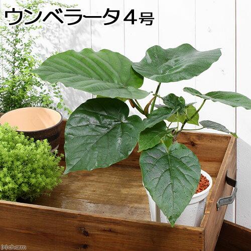 (観葉植物)フィカス ウンベラータ 4号(1鉢)