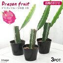 (観葉)果樹苗 ドラゴンフルーツの苗 品種おまかせ 3号(お買い得3ポットセット) 家庭菜園