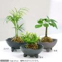 (観葉植物)苔玉 おまかせ観葉 Ver.水苔(3個) コケ玉