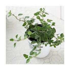 (観葉植物)ハーブ苗 オレガノ(品種おまかせ) 3号(3ポット) 家庭菜園