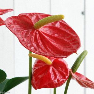 (観葉植物)アンスリウム ロイヤルチャンピオン 6号(1鉢)