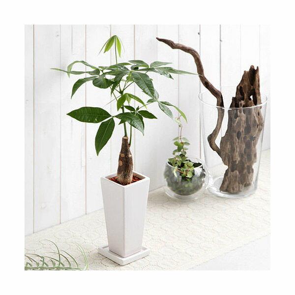 (観葉植物)パキラ 陶器鉢植え タワーS WH(1鉢) 受け皿付き