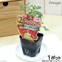 (観葉)野菜苗 トマト 秋トマト 3号(1ポット) 家庭菜園【HLS_DU】