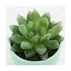 (観葉植物)ハオルチア サラダ菜(品種おまかせ) 3号(1鉢)