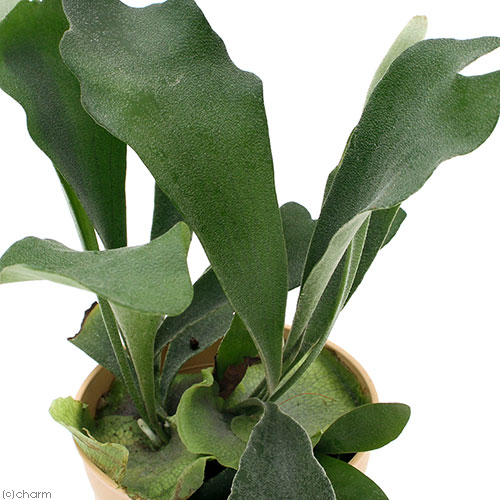 (観葉植物)コウモリラン ビカクシダ ビフルカツム 4号(1鉢) 北海道冬期発送不可