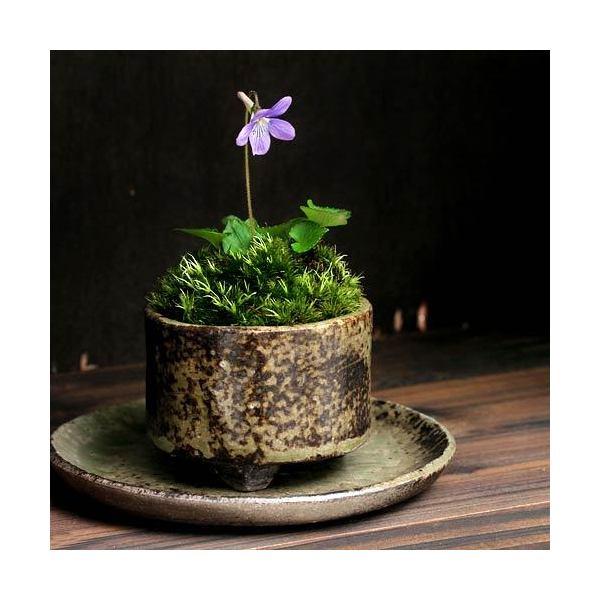 (山野草/盆栽)苔盆栽 おまかせ益子焼鉢植え スミレ(菫)丸型 小(1鉢)