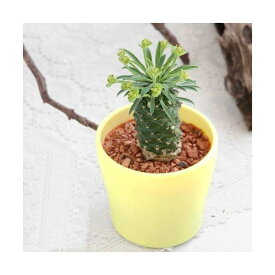(観葉植物)ユーフォルビア パイナップルコーン 3号(1鉢) 北海道冬季発送不可