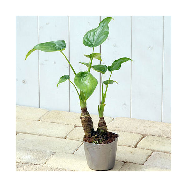 (観葉植物)アロカシア ククラタ シマクワズイモ 3号(1ポット)