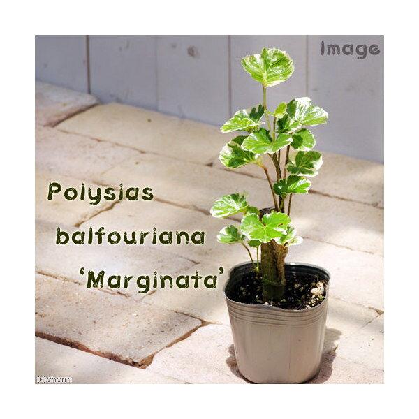 (観葉植物)ポリシャス バルフォリアナ マルギナータ 3号(1ポット)