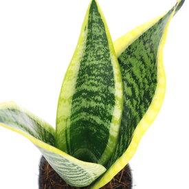 (観葉植物)サンスベリア スパーバ 3号(1ポット)