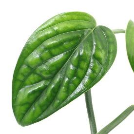 (観葉植物)モンステラ ジェイドシャトルコック 3.5号(1鉢)