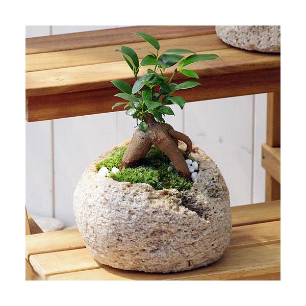 (観葉植物)苔盆栽 ガジュマル 抗火石鉢植え Mサイズ(1鉢)