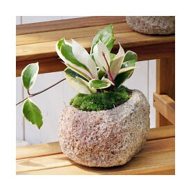 (観葉植物)苔盆栽 ホヤ カルノーサ(サクララン) 抗火石鉢植え Mサイズ(1鉢)