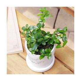(観葉植物)フィカス シャングリラ(つる性ガジュマル) 陶器鉢植え フレグランドラウンドポットXXS(1鉢) 受け皿付き