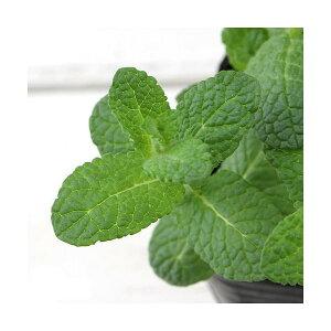 (観葉植物)ハーブ苗 ミント アップルミント 3号(1ポット) 家庭菜園 北海道冬季発送不可