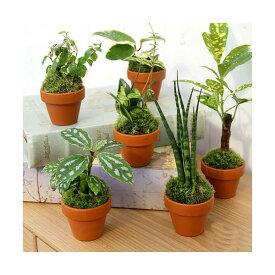 (観葉植物)テラコッタプランツ ミニ おまかせ観葉植物(3鉢) 北海道冬季発送不可