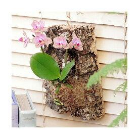 (観葉植物)バージンコルクプランツ マイクロコチョウラン 花色おまかせ(1個)