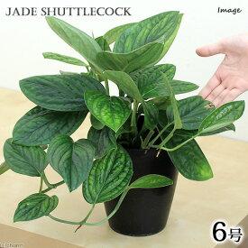 (観葉植物)モンステラ ジェイドシャトルコック 6号(1鉢)