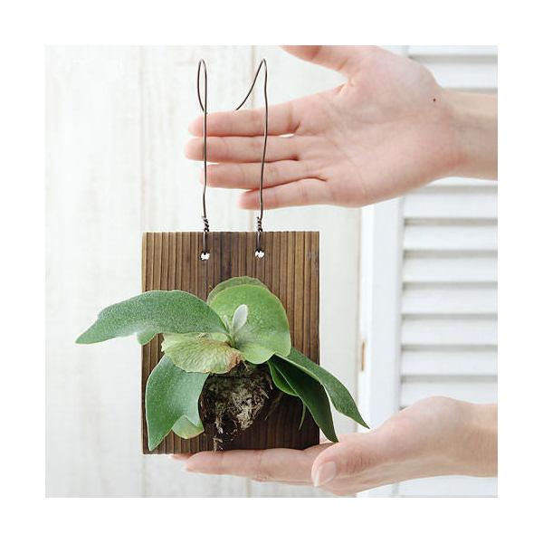(観葉植物)コウモリラン ビカクシダ 焼杉板 壁掛仕立て(1個)