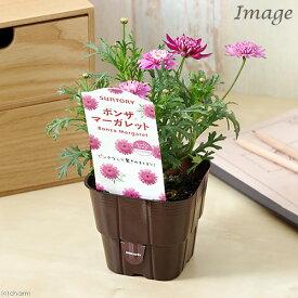 (観葉植物)サントリー ボンザマーガレット ウルル咲き ルージュピンク 3.5号(1ポット)