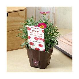 (観葉植物)サントリー ボンザマーガレット リーフ咲き チェリー 3.5号(1ポット)
