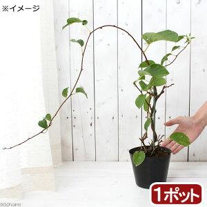 (山野草)盆栽 大実サルナシ 4号(1ポット) 家庭菜園