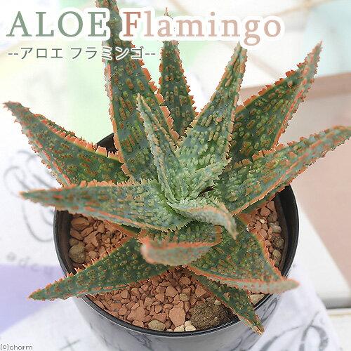 (観葉植物)アロエ フラミンゴ 3号(1鉢)