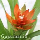 (観葉植物)グズマニア マグニフィカ 2.5号(1ポット)