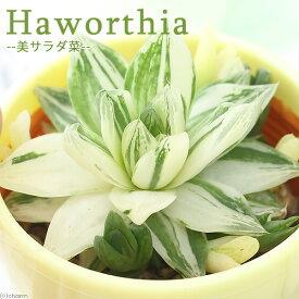 (観葉植物)ハオルチア 斑入 美サラダ菜(品種おまかせ) 3号(1鉢)