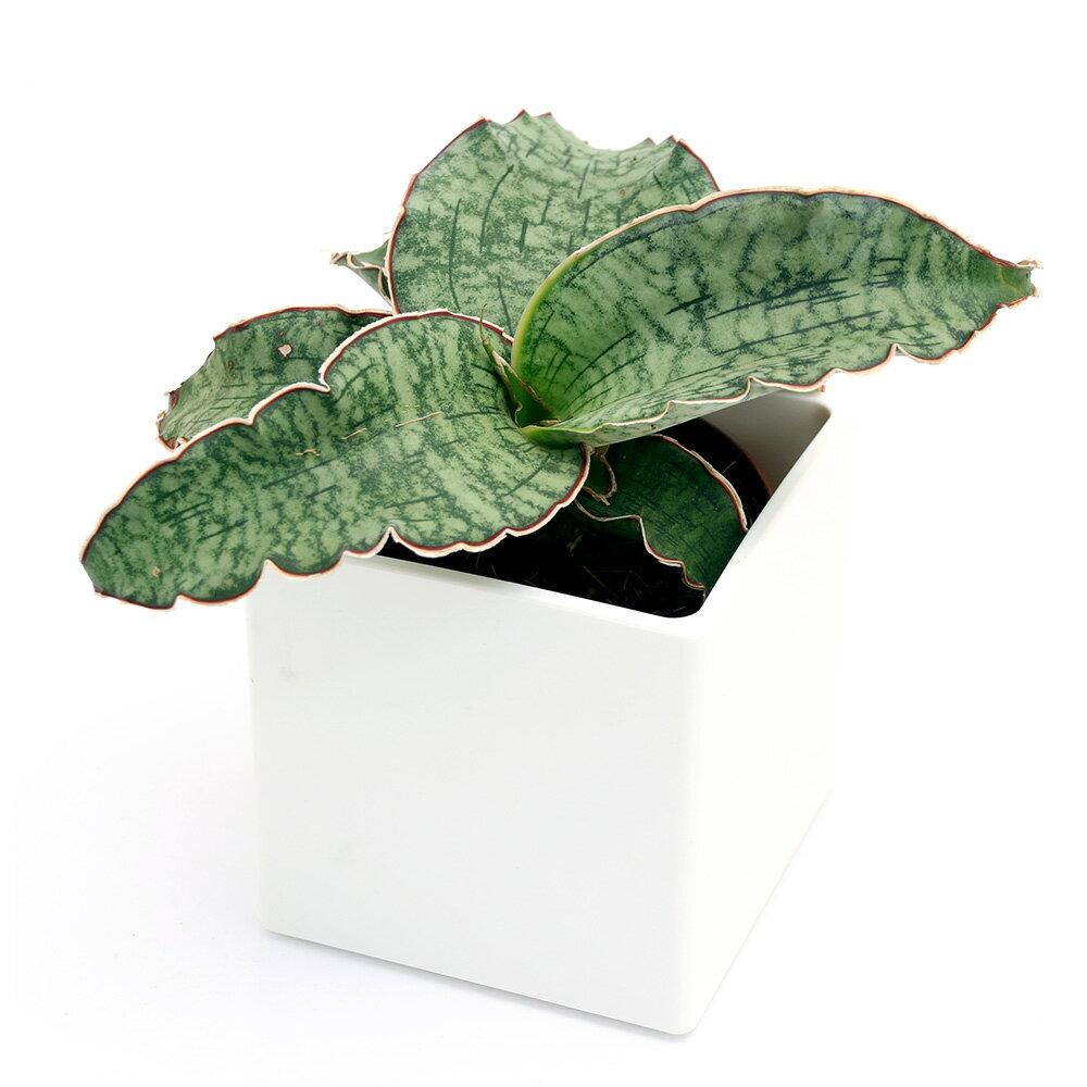 (観葉植物)サンスベリア キルキーシルバーブルー 4号(1鉢)
